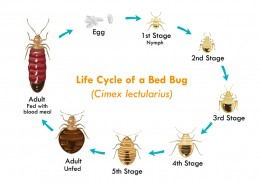 Cycle de vie de la punaise de lit