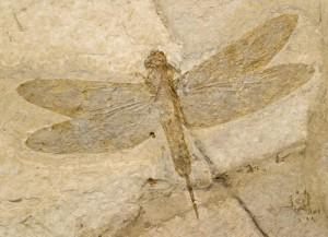Insecte fossilisé