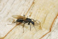 fourmi sexuée ailée